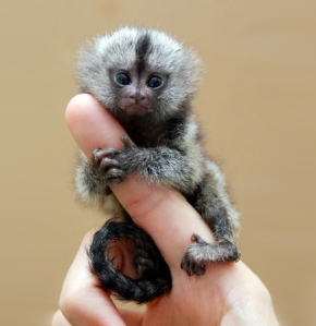 finger-monkey-12